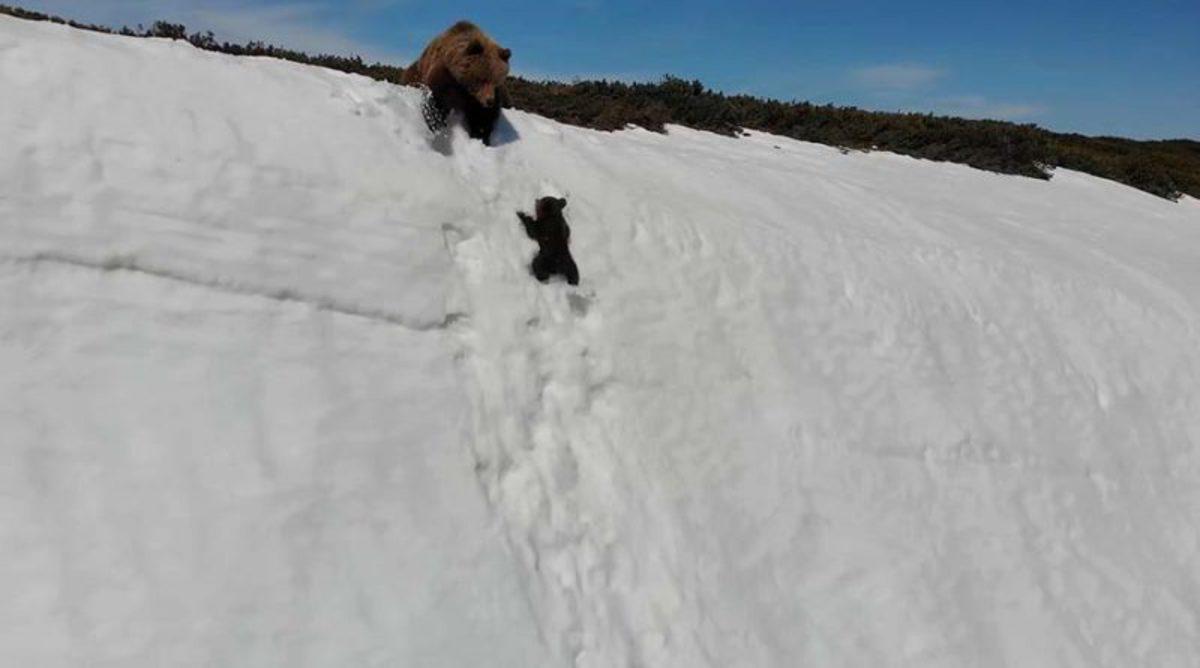 Карабкающийся по крутой горе отважный медвежонок восхитил интернет